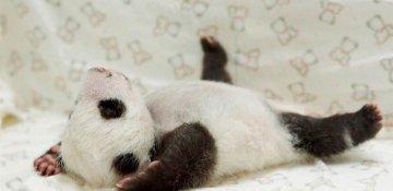 Dünyanın ən balaca panda balası doğulub